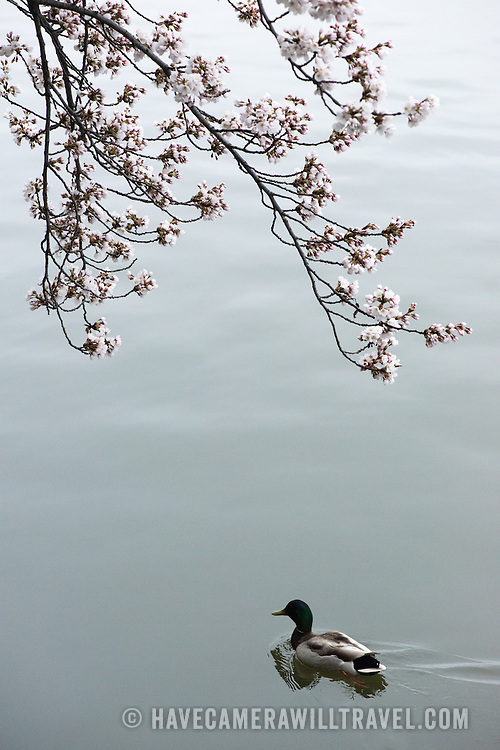 Washington DC's cherry blossoms in bloom  with a duck cruising by on calm waters of the Tidal Basin.