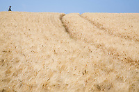 Wheat field with person in distance
