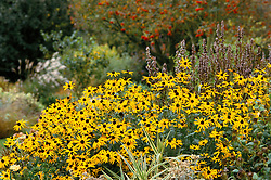 Rudbeckia fulgida var deamii at Glen Chantry with autumn garden beyond<br /> Black-eyed Susan