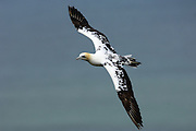 UK - Monday, Jul 14 2008: Northern Gannet (Morus bassanus) in flight. Northern Gannets are seabirds in the family Sulidae and are closely related to the boobies. (Photo by Peter Horrell / http://www.peterhorrell.com)