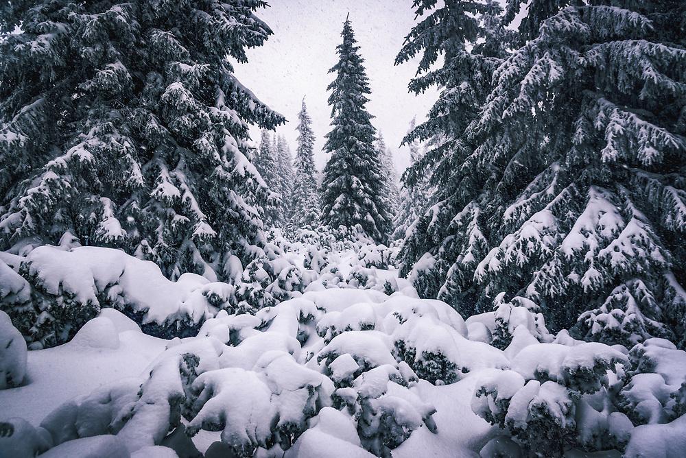 Pine Trees in the Carpathian Mountains,Ukraine