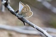 Icaricia icarioides eosierra - Eastern Sierra Boisduval's Blue