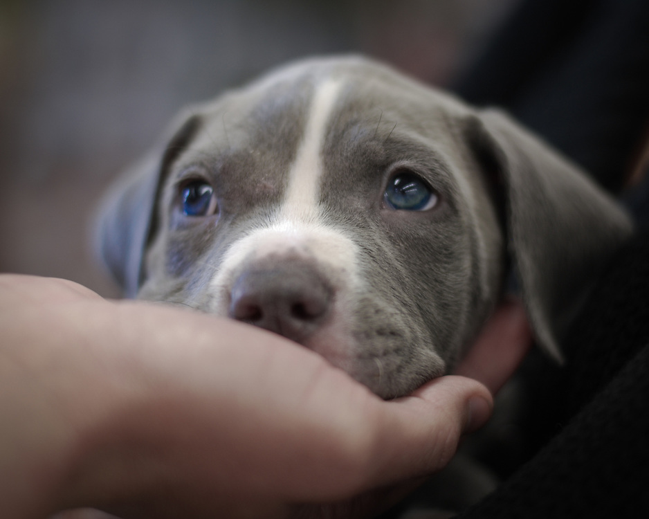A pit bull puppy is being considered for adoption.