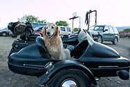 Golden Retriever, dogs,  motorcycles, sidecar, Emigrant, Montana