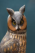 """Long Eared Owl pair, 1975."" Bird carving by Wendell Gilley"