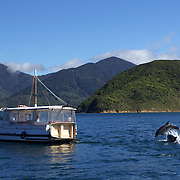 Dolphins in playful mood near a pleasure craft in Queen Charlotte Sound, South Island, New Zealand..The dolphins are viewed by tourists on a 'swimming with Dolphins' trip with Dolphin Watch Eco Tours, run out of Picton, South Island, New Zealand. 27th January 2011. Photo Tim Clayton.
