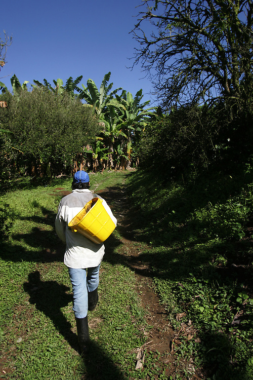 Aristides Doaz, 20, a worker at El Balso farm, picks coffee. The tourism industry is slowly emerging in Quindio, the Colombian coffee country.  Old coffee haciendas have been turned into new hotels catering to tourists.  The countryside, some of the most beautiful in the country, is a popular weekend getaway spot where visitors can participate in a variety of outdoor activities as well as learn about coffee production.