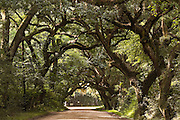 Live oak tree tunnel on the dirt road leading to Botany Bay Plantation in Edisto Island, South Carolina.
