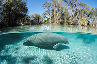 Florida manatee, Trichechus manatus latirostris, a subspecies of the West Indian manatee, endangered. Two manatee swim into the warm freshwater springs. Horizontal orientation scenic split image with patterned sun rays. Three Sisters Springs, Crystal River National Wildlife Refuge, Kings Bay, Crystal River, Citrus County, Florida USA.