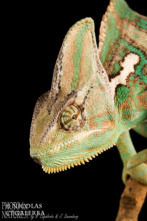 Caméleon casqué du Yemen, Veiled Chameleon, Chamaeleo calyptratus