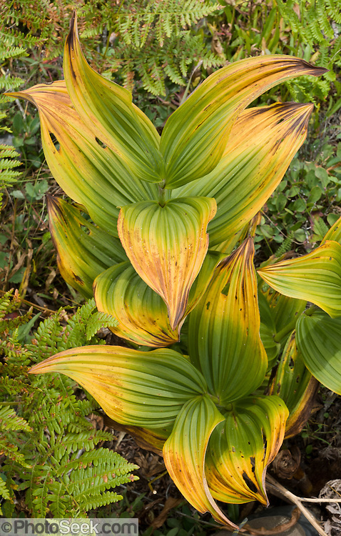 "White Veratrum (Veratrum Californicum) is also known as False Hellebore. ""Veratrum"" is Latin for ""true black"", referring to the black rhizomes (roots).  ""Tenu"" is Latin for ""thin"" or ""slender"" and ""petalum"" is Greek for ""a leaf"" or ""spread out flat"" and refers to the spreading leaves. Photographed on the Mount Defiance Trail, Interstate 90, Washington, USA."