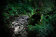 Japan, Yakushima - giant roots i tha midle of the way.