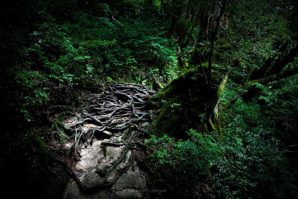 Japan, Yakushima - giant roots i tha midle of the way.