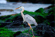 Great Blue Heron on Santa Cruz,  Galapagos Islands, Ecuador