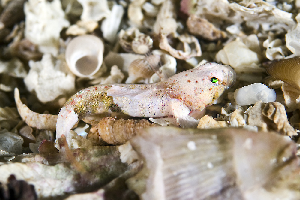 The smallest European marine fish known as the Guillet's goby (Lebetus guilleti) was recorded in Norway for the first time November 2015 by two divers. This is the image of this specific fish. Location : Øygarden, Norway