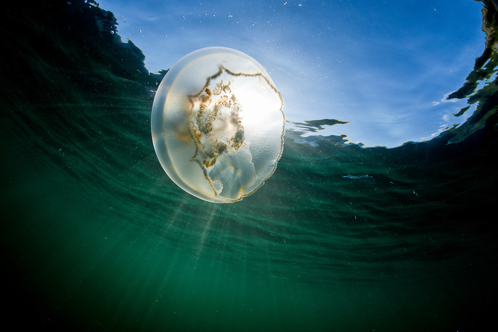 USA, Alaska, Katmai National Park, Underwater view of Moon Jellyfish (Aurelia aurita) in Kuliak Bay