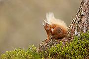 Red Squirrel (Sciurus vulgaris) scratching; in the Cairngorms National Park, Scotland