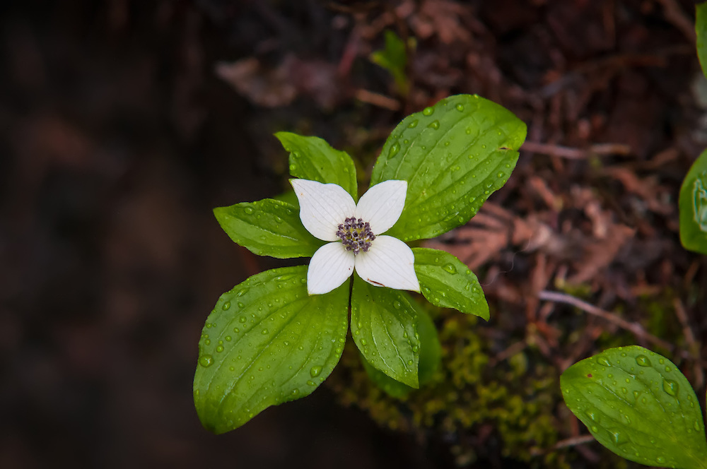 This western species of ground dogwood is a very common forest ground covering plant that can form  vast carpets of green throuout the damp forests of the Pacific Northwest. These white flowers will soon become bright-red berries which historically were an important food source for Native Americans. This was photographed in the forest near the shore of Trillium Lake on the southern side of Mount Hood's Peak in Oregon.