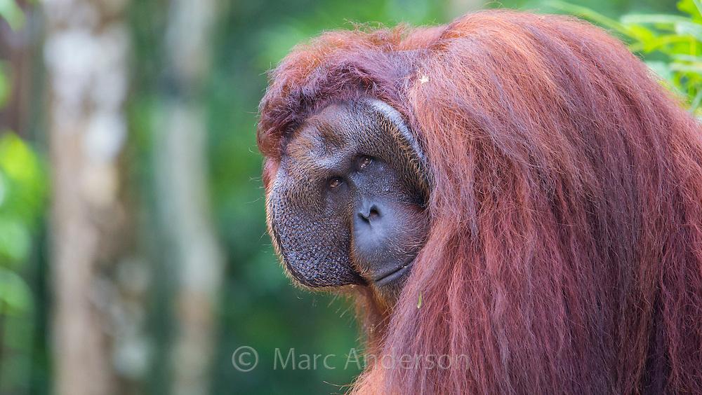 Alpha Male Bornean orangutan (Pongo pygmaeus), Sarawak, Malaysia