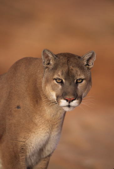 Mountain Lion or Cougar, (Felis concolor) Portrait. Northern Arizona.  Captive Animal.