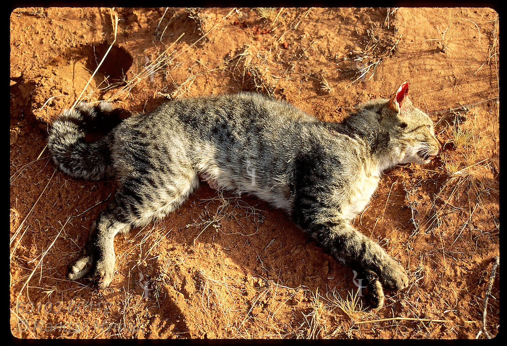 Dead feral cat, dubbed the Sangster's Bore Panther, lies in sand after being shot; Tanami Desert Australia