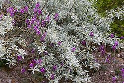 Elaeagnus angustifolia with Erysimum 'Bowles' Mauve' growing in the walls at Sissinghurst Castle Garden