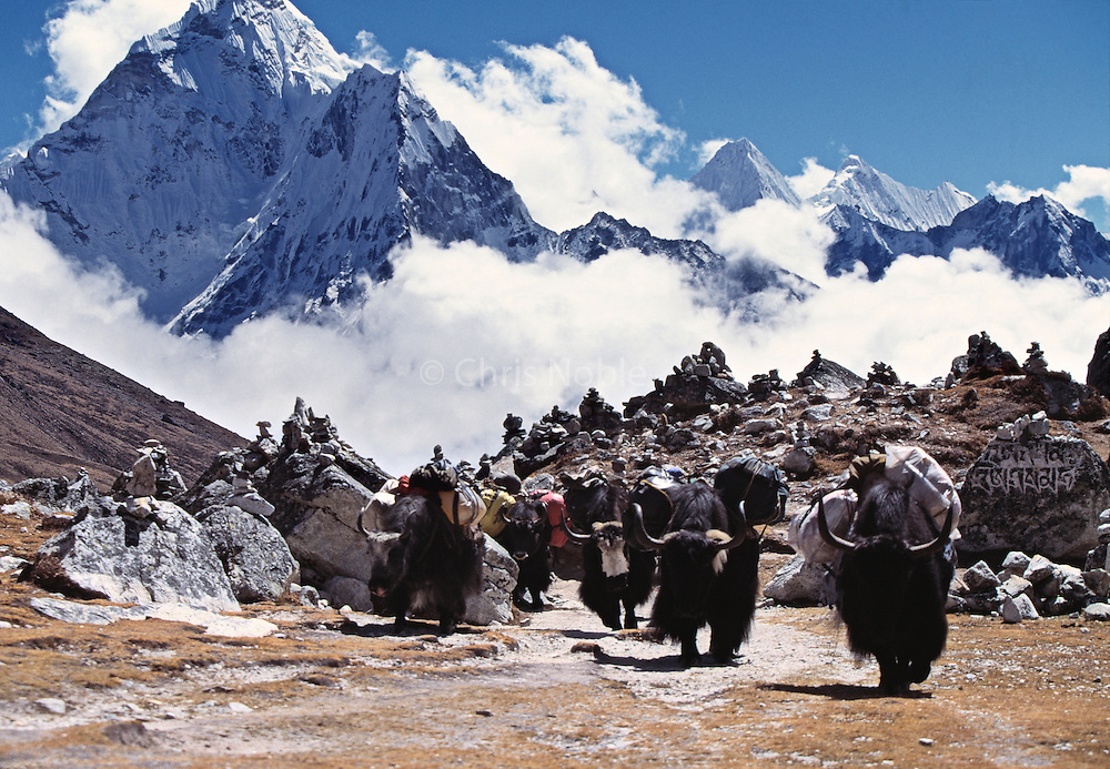 In the Khumbu (Everest) Region of the Himalayas, yaks carrying loads to Pumori Base Camp cross a pass in front of Ama Dablam Peak where rock cairns have been erected as monuments to sherpas killed on Everest.