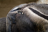 A juvenile anteater clings to its mother's back at the San Diego Zoo