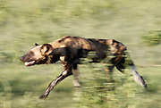 A pack of wild dog on a hunt in Chobe National Park, Botswana, Southern Africa, Africa.© Z&D Lightfoot.www.Lightfootphoto.com