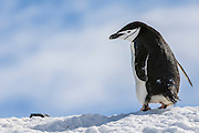 A single Chinstrap Penguin (Pygoscelis antarctica) standing on snow covered ridgeline, Half Moon Bay, Half Moon Island, Antarctica.
