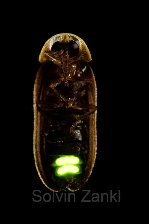 Firefly (Lamprohiza splendidula), Göhrde, Germany.   Kleiner Leuchtkäfer, Glühwürmchen (Lamprohiza splendidula), Göhrde, Deutschland