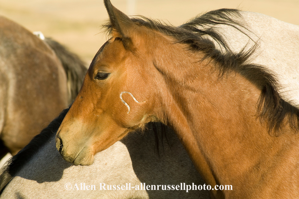 Bay Quarter Horse foal at Leachman Hairpin Cavvy horse sale southeast of Billings Montana, Hairpin brand on cheek