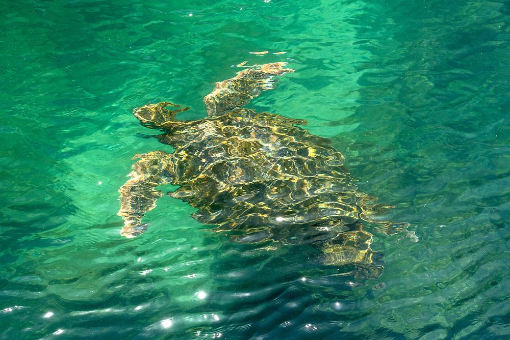 Sea turtle off the coast of Isabela Island, Galapagos Islands, Ecuador.