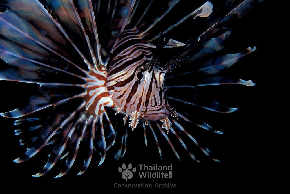 Closeup of the common Lionfish, pterios volitans, at Dauin beach, Dumaguette, Philippines.