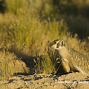 Badger (Taxidea taxus) stands at its burrow at sunset, Deer Flat National Wildlife Refuge