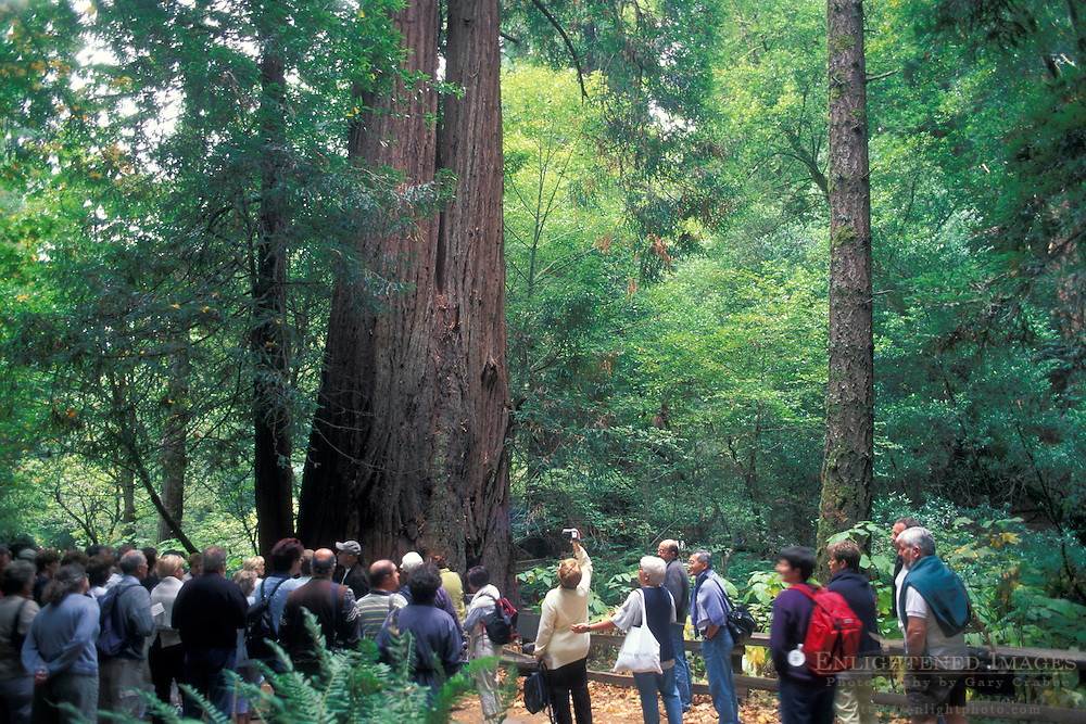 Tourists looking up at large coastal redwood tree in forest, Muir Woods National Monument, Marin County, California Tourists looking up at large coastal redwood tree in forest, Muir Woods National Monument, Marin County, California