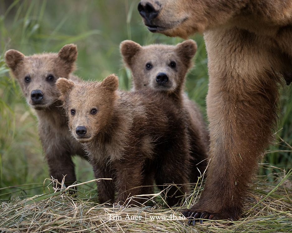 A family unit travels along the river side on the alert for salmon...and other bears. Katmai National Park