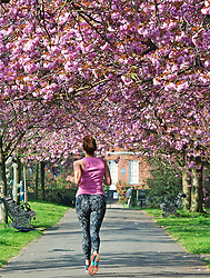 ©Licensed to London News Pictures 08/04/2020  <br /> Greenwich, UK. A female jogger running under a pink canopy of cherry blossom this morning. People get out of the house from Coronavirus lockdown to exercise and enjoy the sunny weather in Greenwich park,Greenwich, London. Photo credit:Grant Falvey/LNP