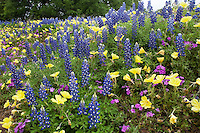 Bluebonnets, Evening Primrose and Phlox, Gillespie County