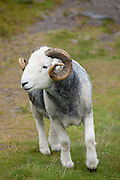 Traditional Herdwick sheep ram in the Lake District National Park, Cumbria, UK