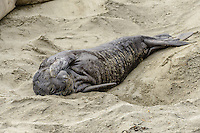 Northern Elephant Seal [Mirounga angustirostris] pup; Piedras Blancas, California