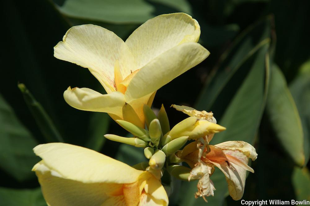 Yellow Cannas