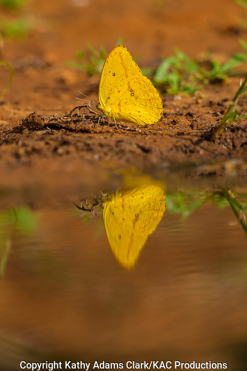 Large orange sulphur, Phoebis agarithe, sipping minerals, San Jose Ranch, near Laredo, Texas.
