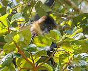 Spider monkey in aguacatillo tree with the tree's fruit prominent, Monteverde cloud forest, Costa Rica, Copyright 2016 David A. Ponton