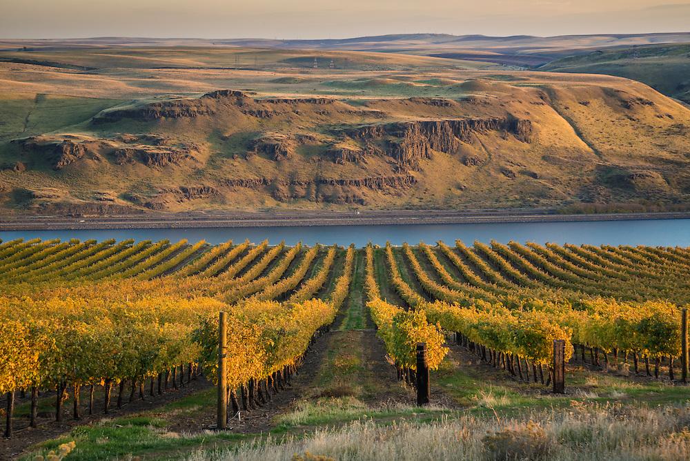 Maryhill Winery vineyards overlooking the Columbia River; Maryhill, Washington.