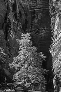 Big-toothed maple in the narrow canyon formed by the North Fork of the Virgin River grows from a crack in a rock formation elevated above the riverbed. © 1990 David A. Ponton