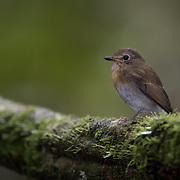 Female Tickell's Blue Flycatcher<br />