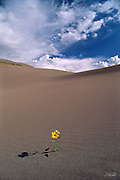 A single prairie sunflower (Helianthus pauciflorus) blooms admist the desert sandunes.
