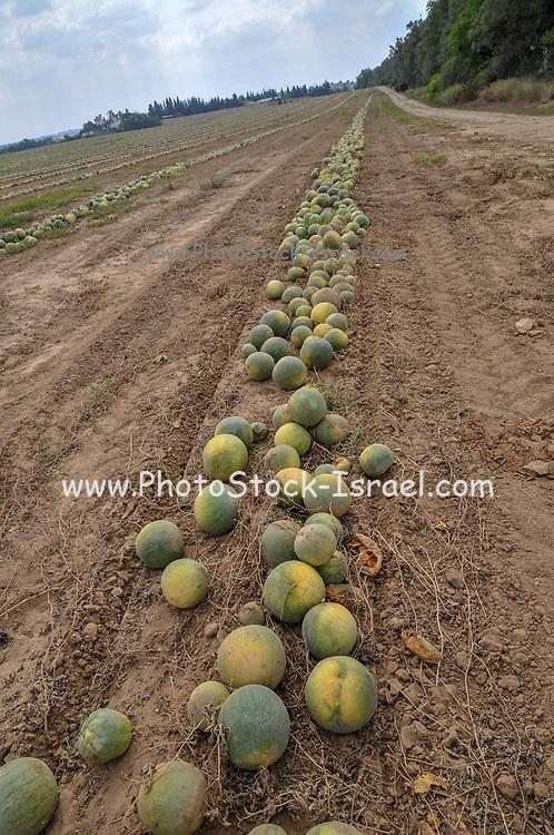 Israel, Watermelon (Citrullus vulgaris) harvesting