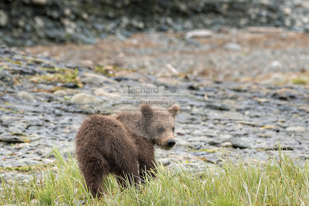A brown bear spring cub explores the rocky shore of the lower lagoon at the McNeil River State Game Sanctuary on the Kenai Peninsula, Alaska. The remote site is accessed only with a special permit and is the world's largest seasonal population of brown bears in their natural environment.